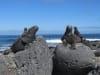 Zeeleguanen op Tortuga beach, Isla Santa Cruz